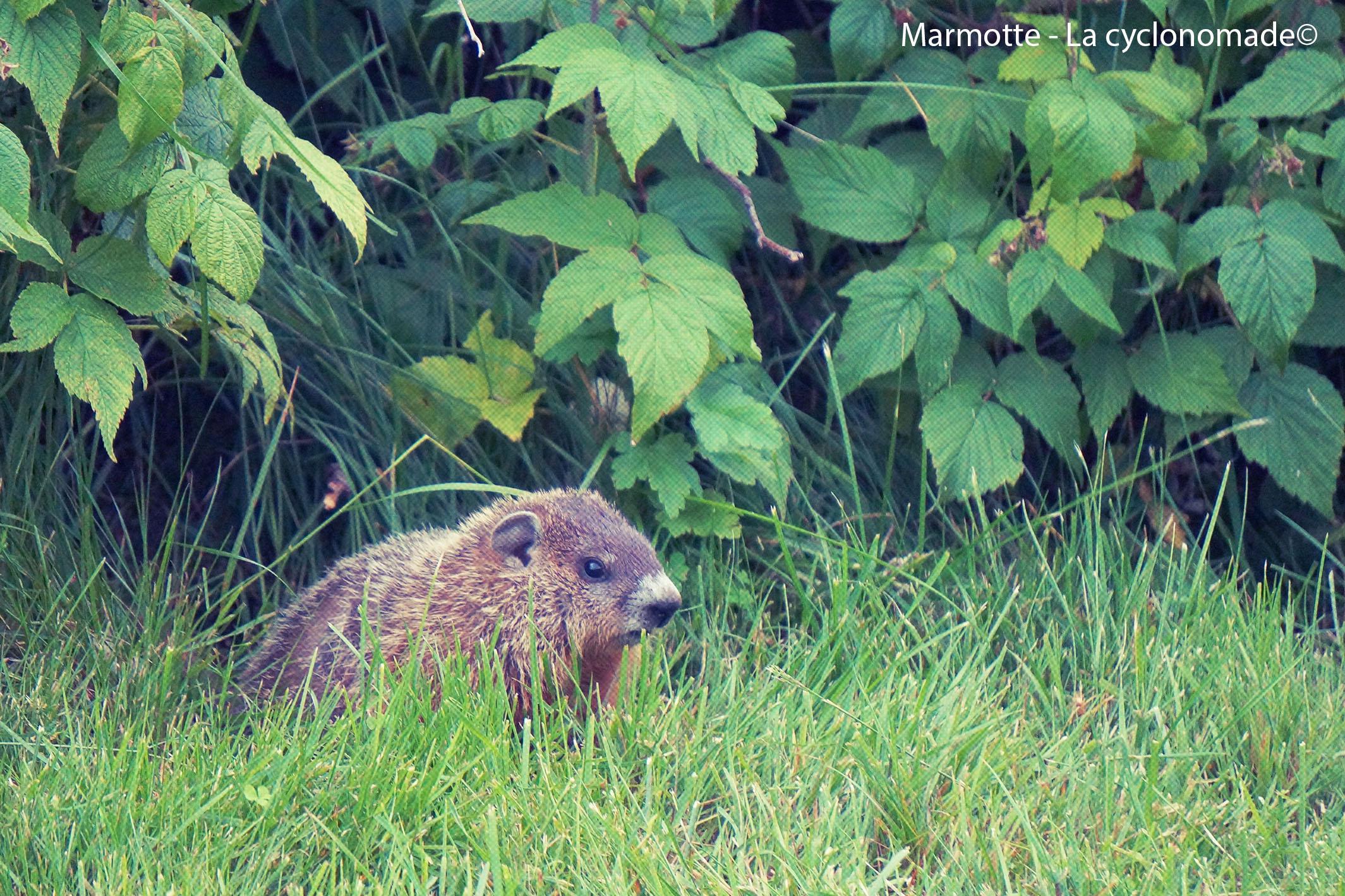 Rencontre avec une marmotte