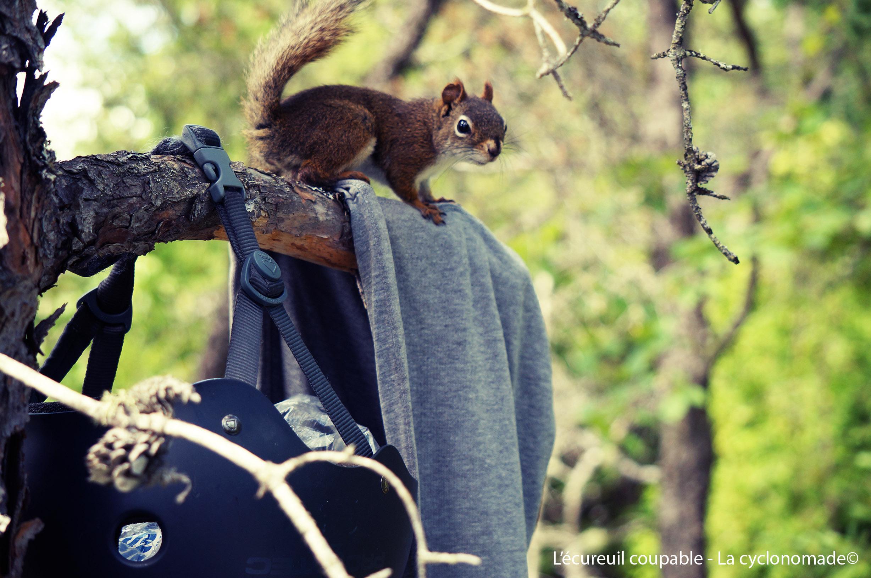 L'écureuil grignoteur de tente