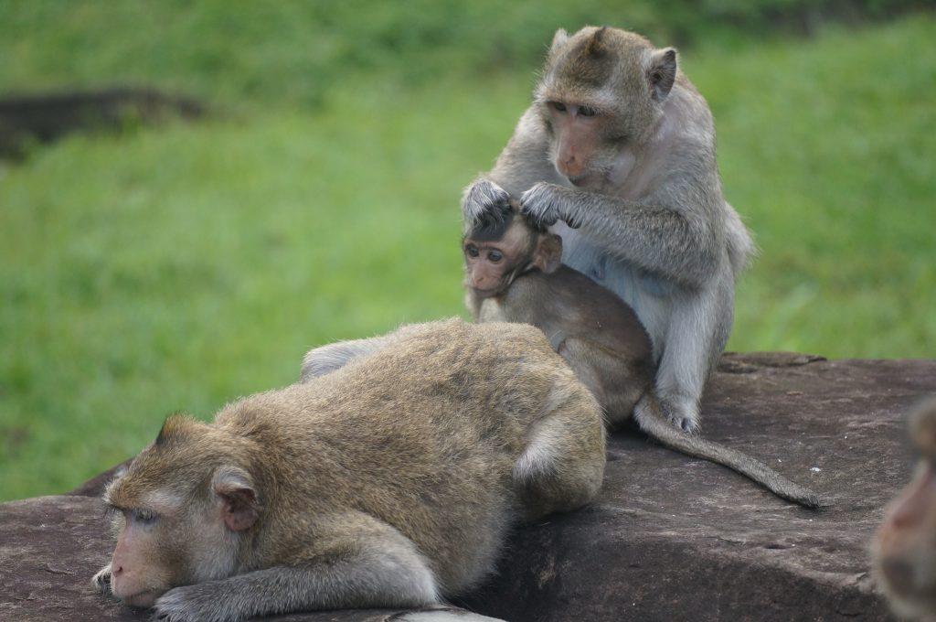angkor, temps, cambodge, cyclotourisme, singes angkor