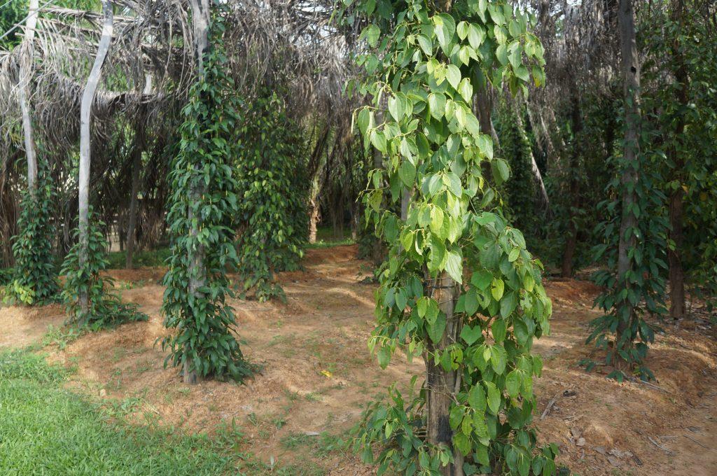cambodge - kampot - plantation de poivre