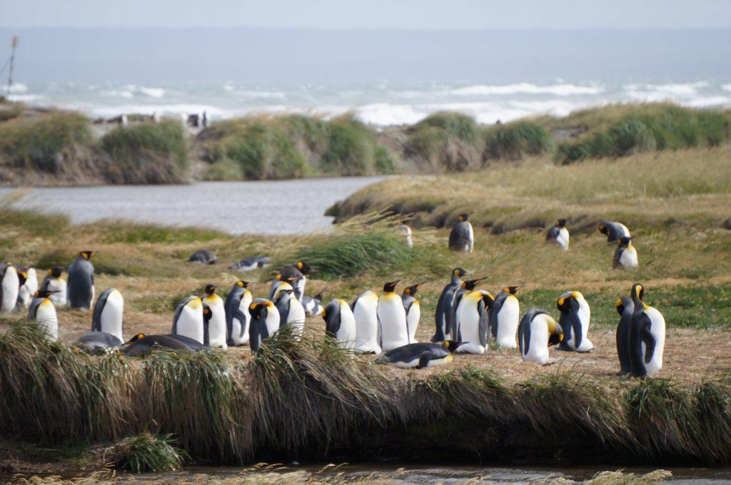 argentine à vélo - Chili à vélo - cyclotourisme patagonie - pingouins - manchots empereur