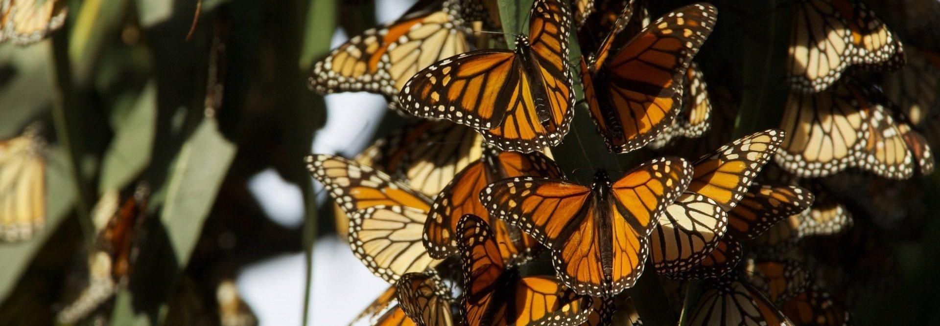 véloroute des monarques - papillon monarque - cyclotourisme 0 la cyclonomade - voyage à vélo - amérique du nord à vélo - plateforme cyclotourisme