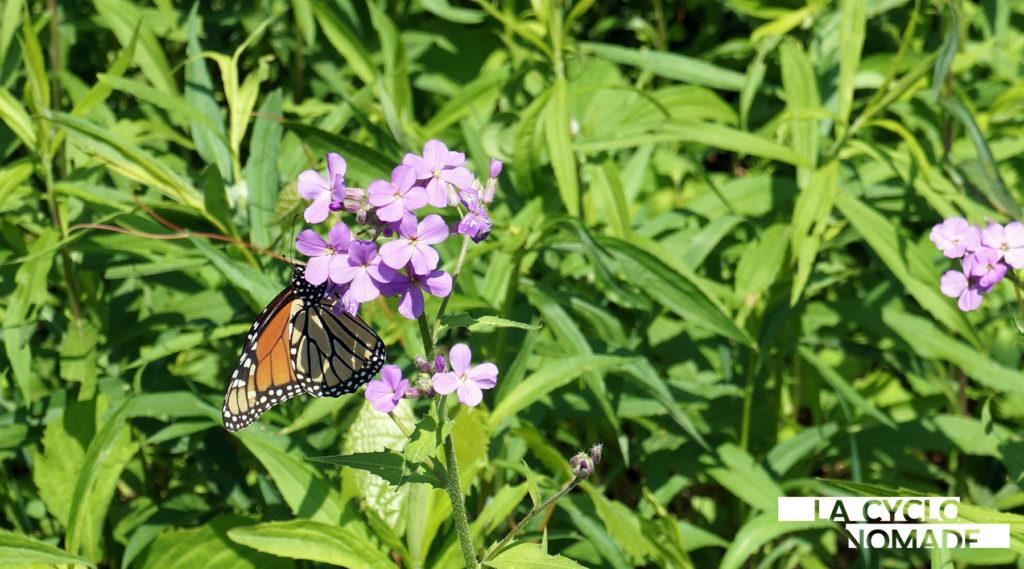 papillon monarque - québec à vélo - cyclotourisme québec - merci mon vélo - cyclotourisme - voyage à vélo - la cyclonomade
