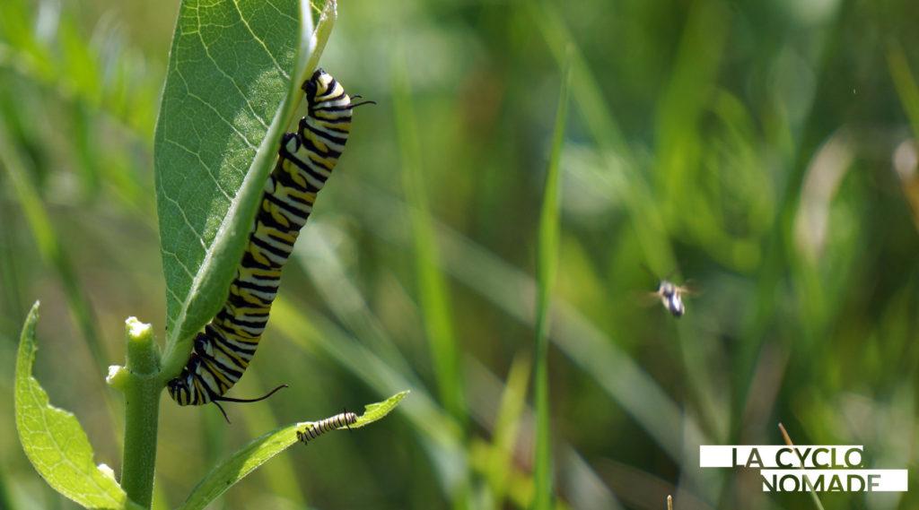 chenilles monarques - papillons monarques - boucle vélo au québec - escapade vélo québec - quebec à vélo - cyclotourisme québec - la cyclonomade - cyclotourisme - véloroute des monarques